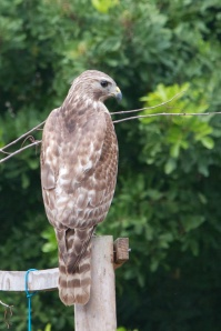 Cooper's Hawk, Rockledge, FL 2/24/13