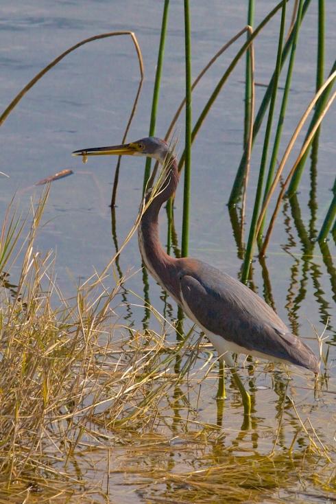 Note the meal in his/her beak Rich Grissom Memorial Wetlands Viera, FL 1/26/14