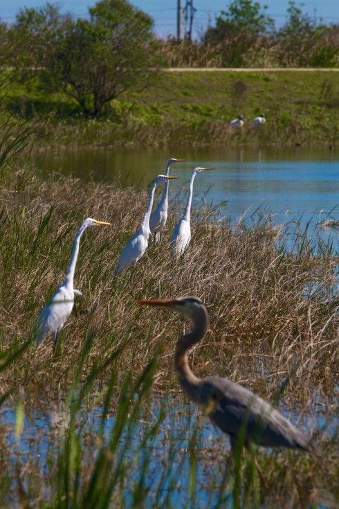 Rich Grissom Memorial Wetlands Viera, FL 2/9/14