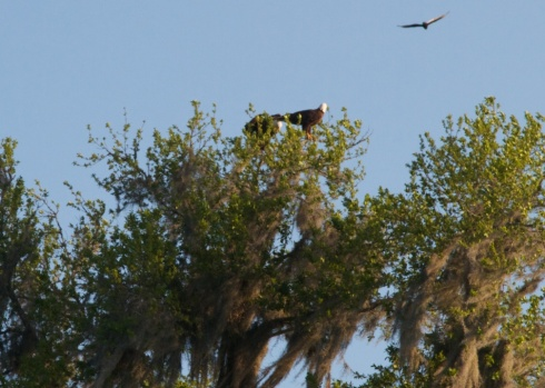 Two Bald Eagles, Paynes Prairie State Park, 4/25/14