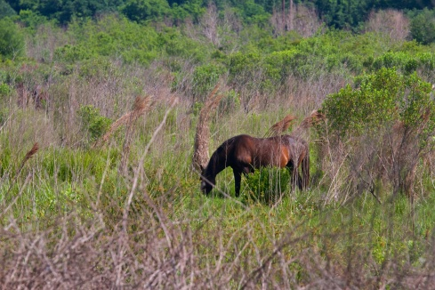 Wild Horses, Paynes Prairie State Park, FL 4/26/14