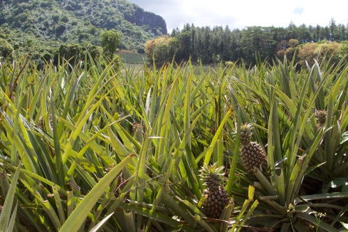 Pineapple field, Moorea, 9/26/14