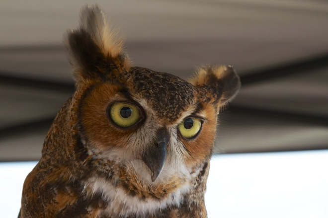 """""""Owliver"""", Great Horned Owl, Viera, FL, 4/11/15"""