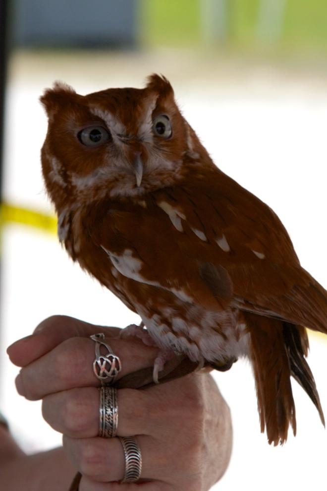 """Gonzo"", Eastern Screech Owl, Viera, FL, 4/11/15"
